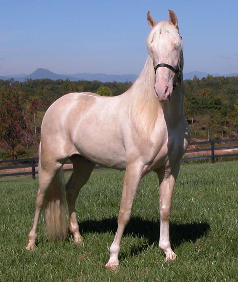 Cremello Tennessee Walking Horse