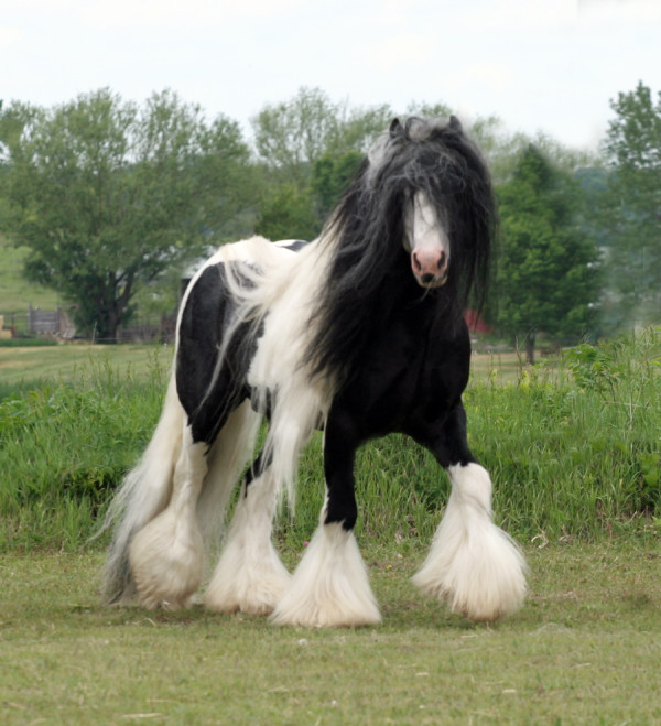Friesian-Gypsy Vanner Crossbreed