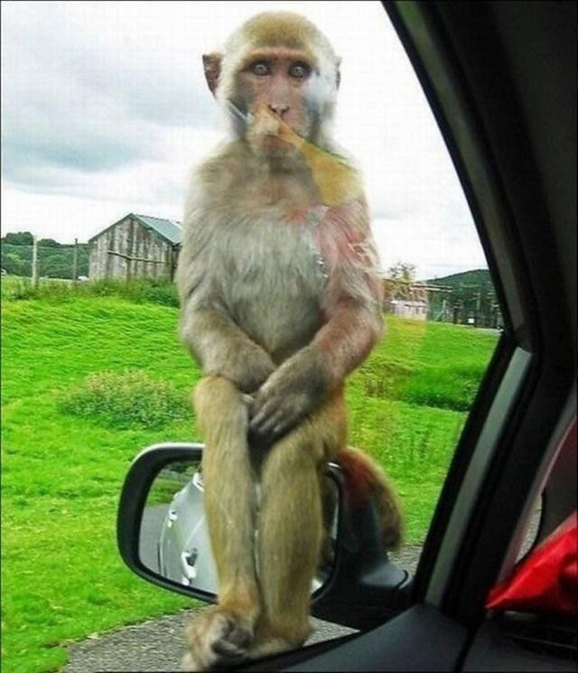 poza haioasa maimutica