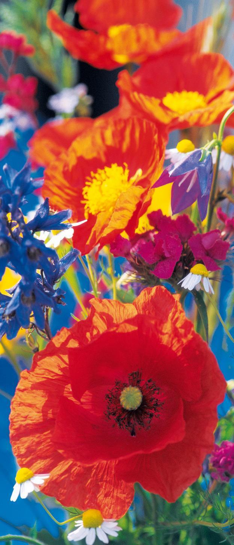 Bild Mit Fotos Von Roten Mohnblumen In Den Blauen Himmel 3d