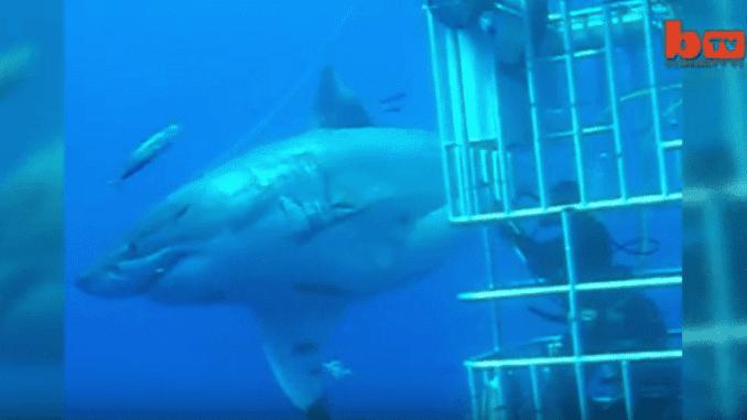 Gigantische Ausmaße: Deep Blue ist der größte Große Weiße Hai, der je gefilmt wurde. Foto: youtube.com