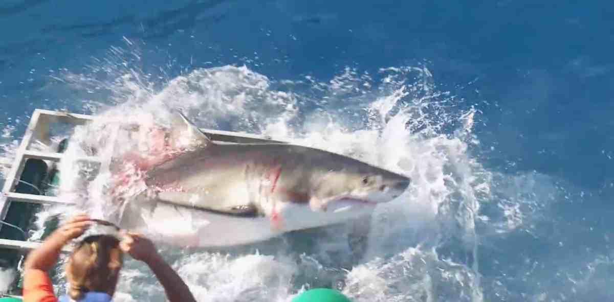 Großer Weißer Hai durchbricht Haikäfig: Vorfall könnte Art besser schützen