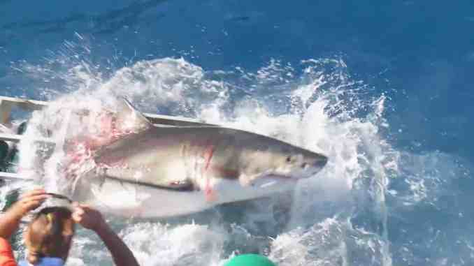 Unfall mit Großem Weißen Hai: Das Video zeigt sehr deutlich, dass sowohl der Hai als auch der Taucher in Gefahr gebracht wurden, weil die Bootsbesatzung versucht hat, den Hai mit einem Köder noch näher an den Käfig zu locken. Foto: youtube.com