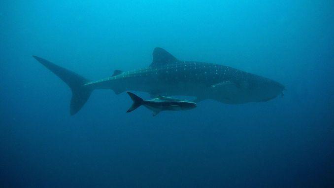 Die Mutter aller Haie in Thailand: der Walhai. Foto: Pixabay