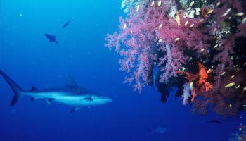 Haie im Roten Meer: Graue Riffhaie kommen relativ häufig vor! Foto: Pixabay