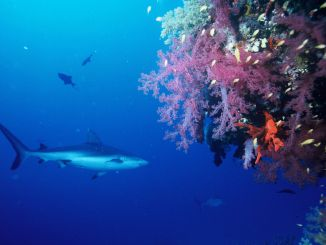 Sharks in the Red Sea: Gray reef sharks are relatively common! Photo: Pixabay