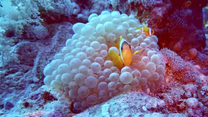 Tauchen in Safaga: Die Korallenriffe im Roten Meer sind absolut herrlich und intakt! Foto: Sascha Tegtmeyer