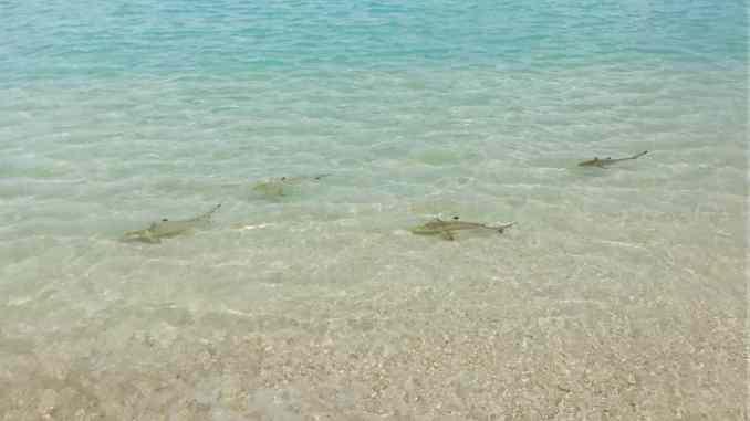 Haie auf den Malediven: Ein echtes Hai-Light sind die Baby-Blacktips in den Lagunen mancher Resort-Inseln. Foto: Sascha Tegtmeyer