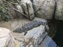 Ein Krokodil liegt im Tropenhaus faul in der Sonne – darunter befindet sich das Tropen-Aquarium. Foto: Sascha Tegtmeyer