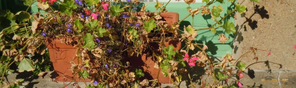 We had an early frost. The geraniums in my window box are dying.