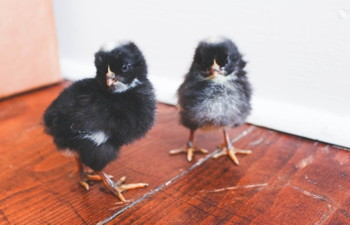 Meet Our Chickies!!