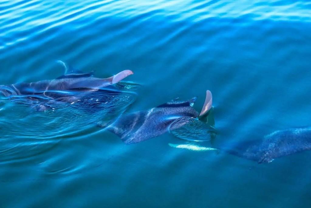 Manta Rays in the ocean