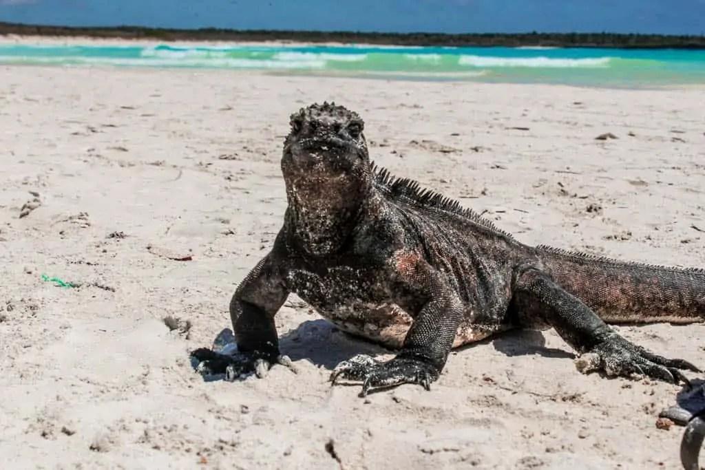 marine iguana on the Galapagos Islands