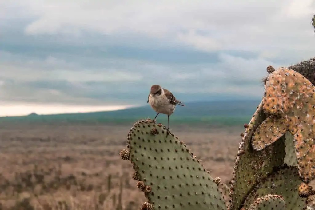 one of Darwin's finches on the Galapagos Islands
