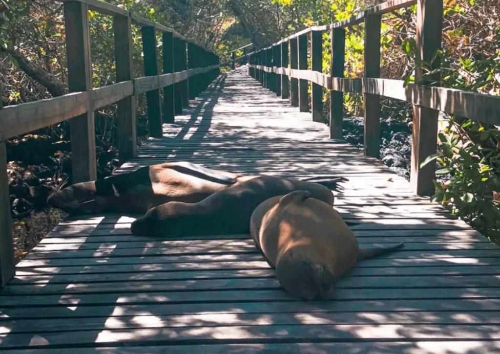 Sea Lions napping on the boardwalk to Concha de Perla on Isla Isabela - Galapagos Islands
