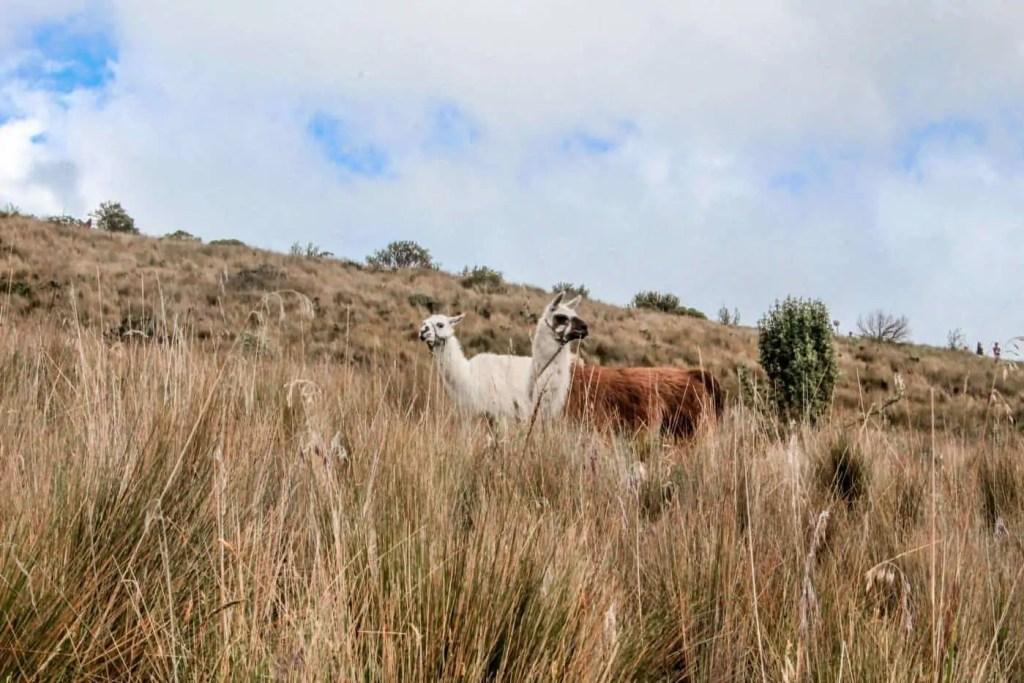 Llamas on the rucu pichincha