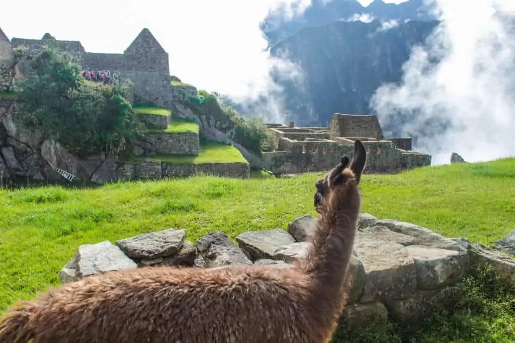 Alpaca on Machu Picchu