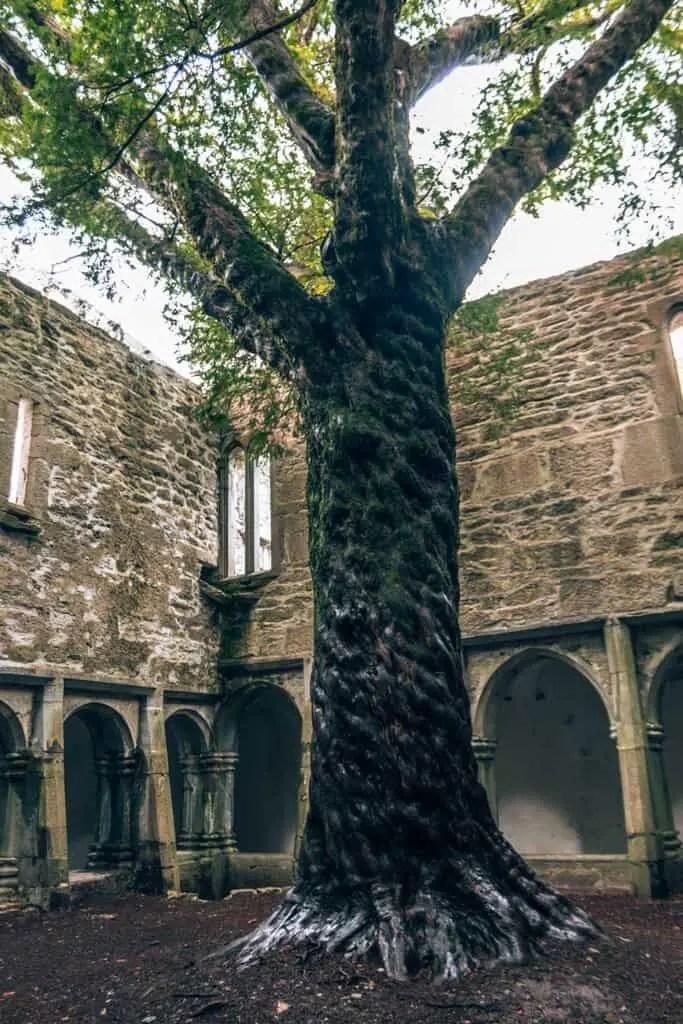 The Yew Tree in Muckross Abbey