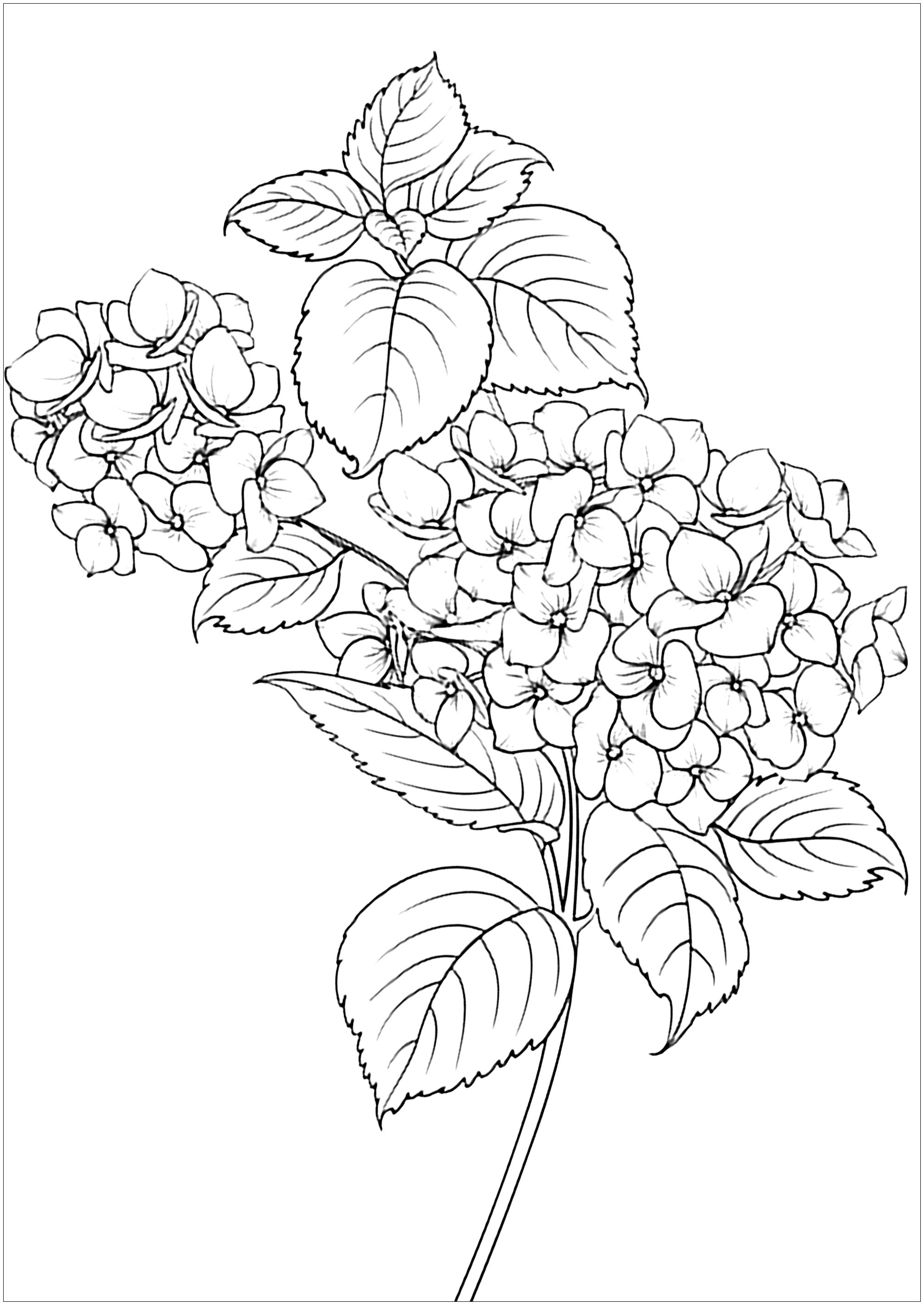 Flowers Leaves Flowers Adult Coloring Pages