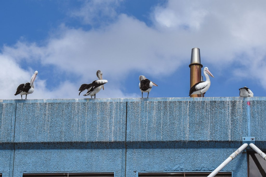 pelicans on the fish market roof