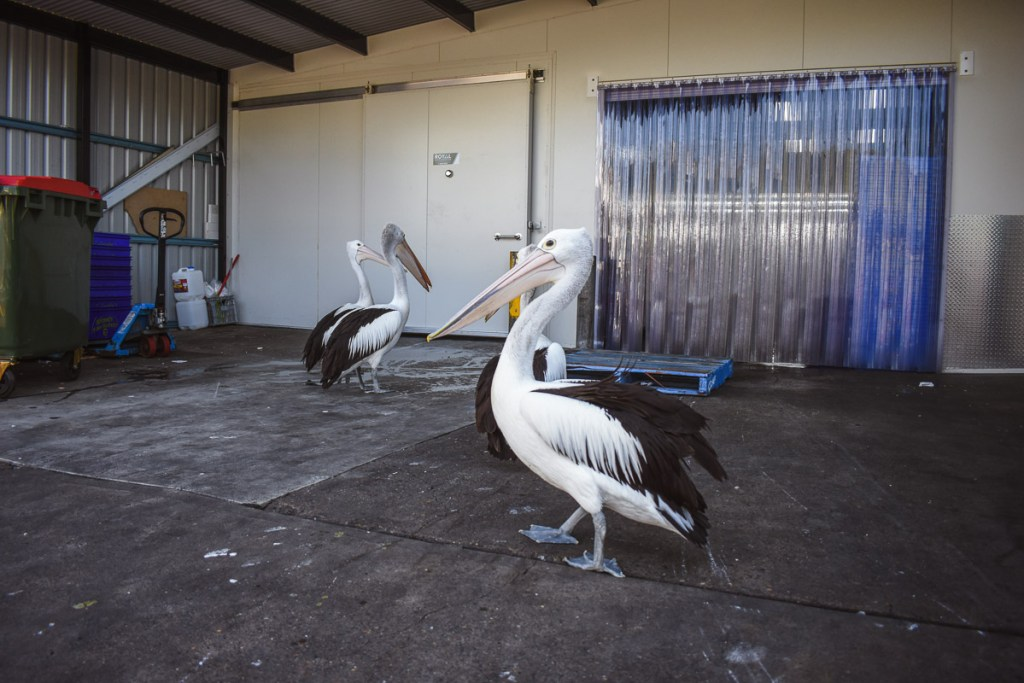 pelicans at the fish markets