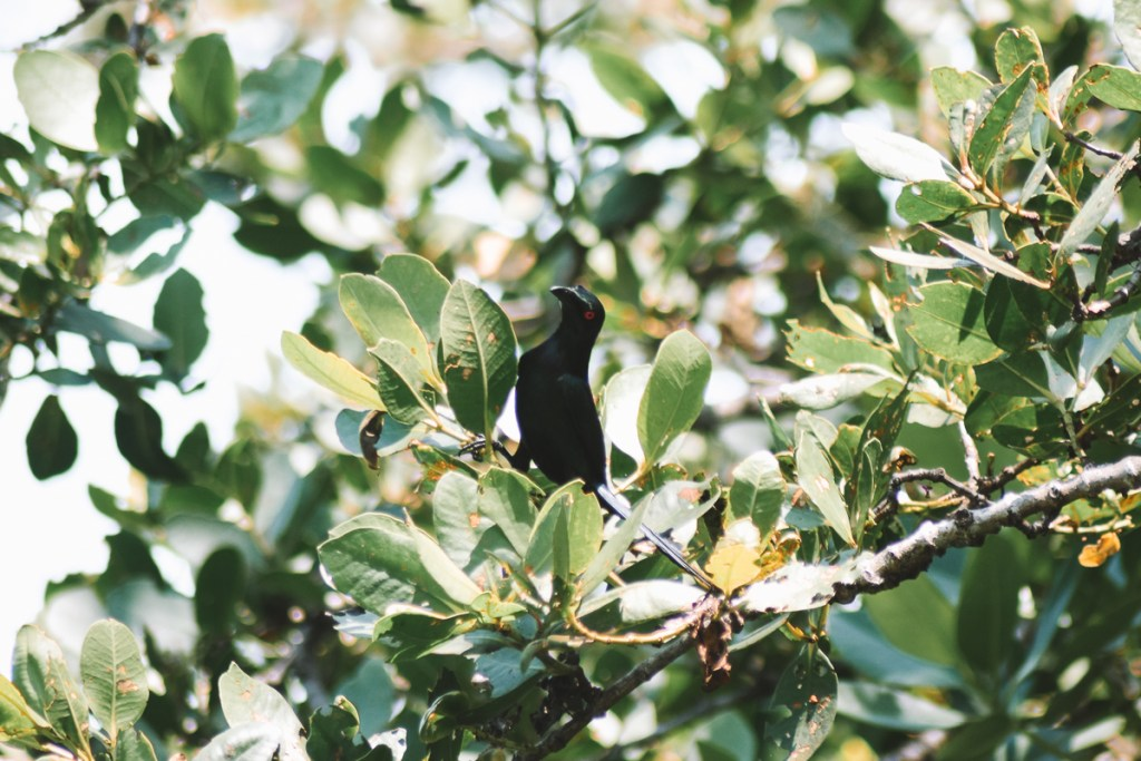 Black bird at Daintree river cruise centre
