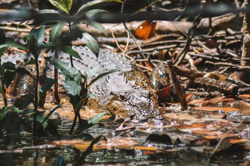 Daintree river cruise centre crocodile