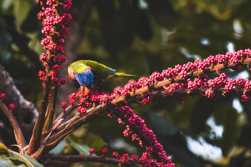 Parrot feeding on trees in Port Douglas