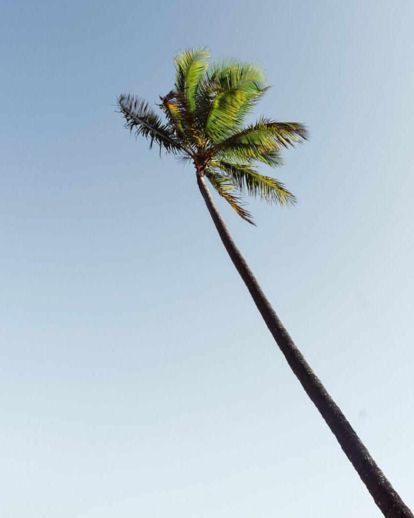 really tall palm tree on mission beach