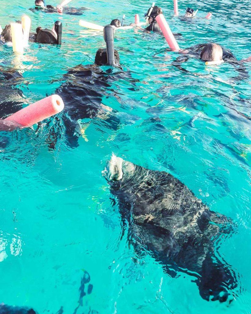 Big rubber lip fish snorkelling