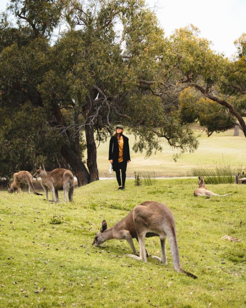 2 day great ocean road itinerary - Chill with Kangaroos at Anglesea Golf Club