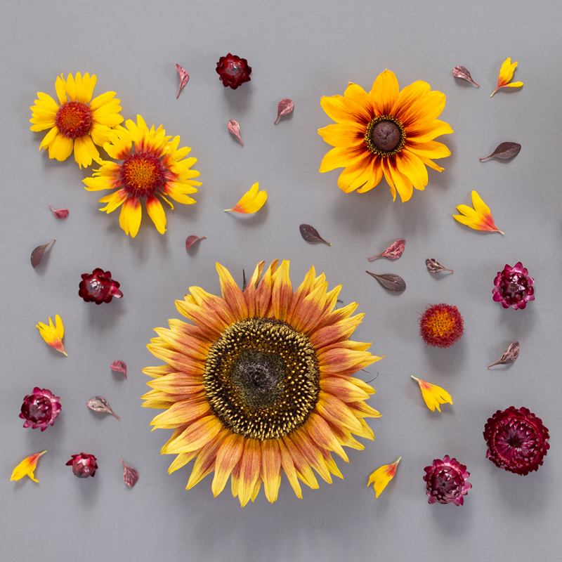 DIGITAL BLOOMS SEPTEMBER 2019 | FREE DESKTOP WALLPAPER | Free Summer / Fall 2019 Floral Desktop Wallpapers featuring Chianti and Little Becka Sunflowers, Rudbeckia, Strawflower, wild Firewheels and Barberry leaves on a moody grey background | Free Sunflower Floral Wallpapers for Summer and Autumn | Summer / Fall 2019 Tech Wallpapers | FREE Autumn Floral Wallpapers | The Best FREE Fall/Autumn Tech Wallpapers | Free Floral Tech Wallpapers Fall 2019 // JustineCelina.com