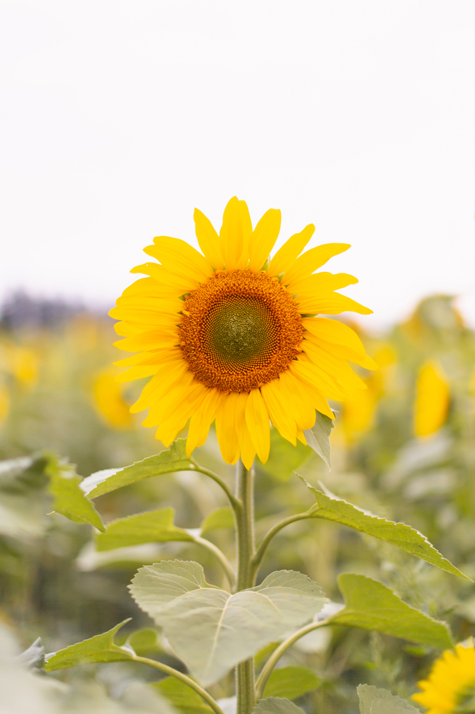September 2019 Soundtrack | The Best Chill Fall Playlist | Blooming Sunflower at the Bowden Sunmaze in Alberta, Canada | Calgary Creative Lifestyle and Travel Blogger // JustineCelina.com