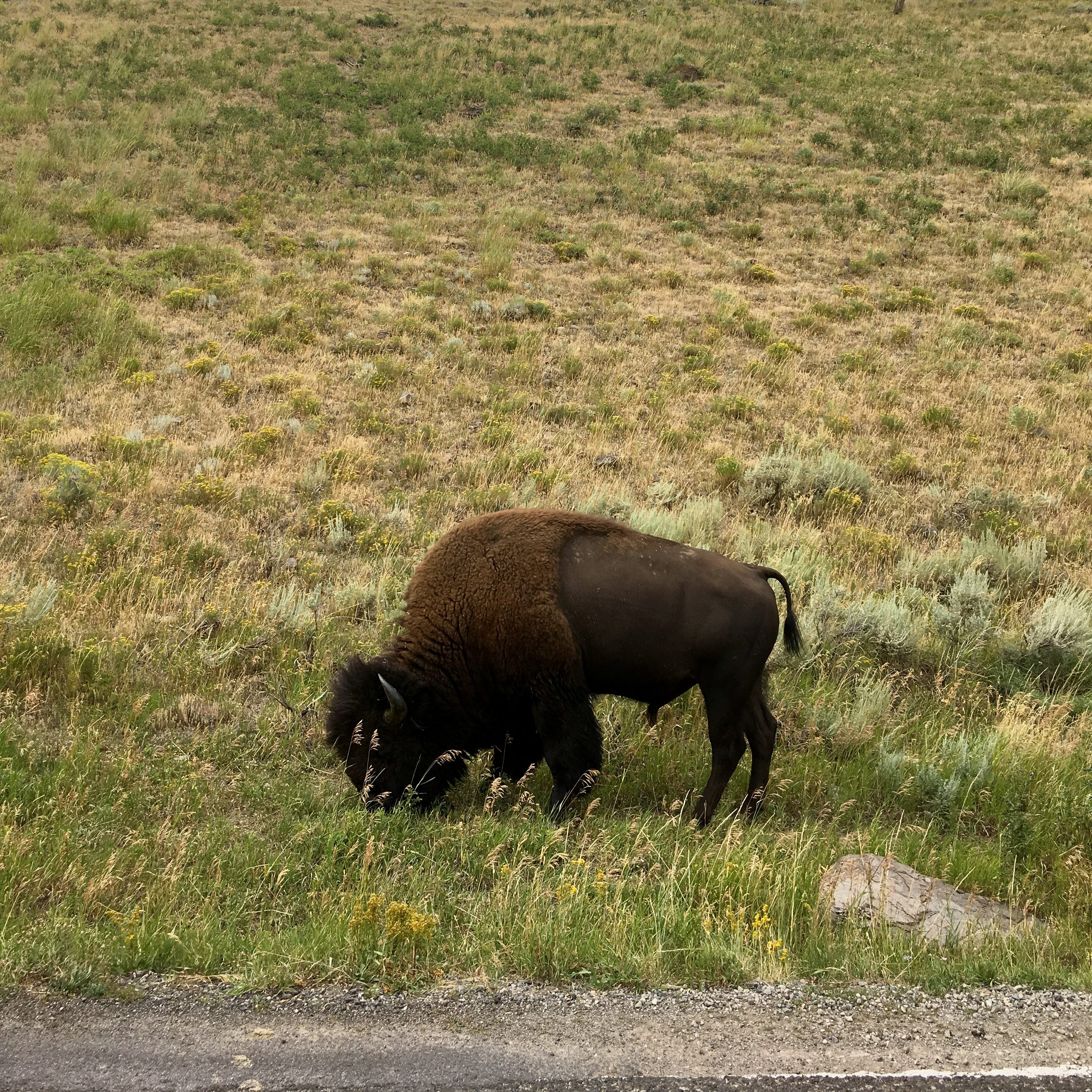 Drive through Yellowstone