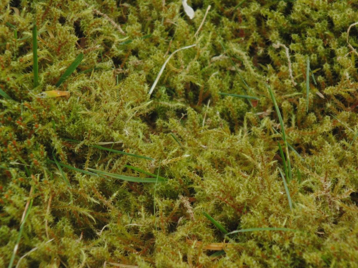 Greenkeeper U2019s Secrets  The Best Way To Kill Lawn Moss