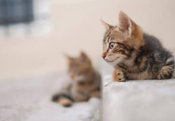gastgezin voor kittens