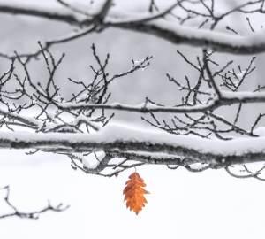 besneeuwde takken met één bruin bladje er nog aan
