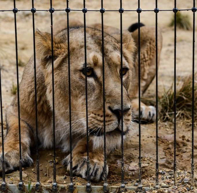Can you believe: Three guilty lions sentenced to life behind bars