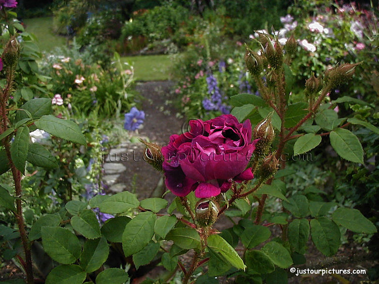Moss rose in garden