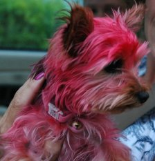 dog with bad pink dye job