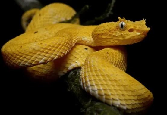 Golden Lancehead - Bothrops insularis