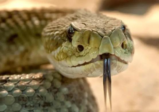 Rattlesnake - Snakes
