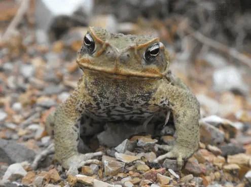 Cane toad - Amphibians