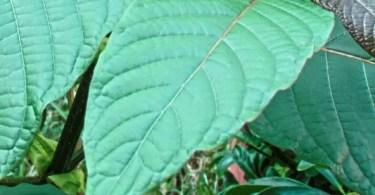 Kratom - Plants