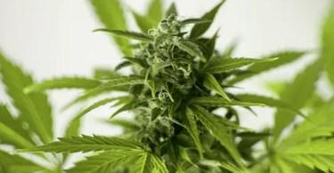 Get Into the Marijuana Industry