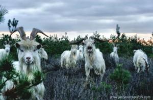 Gandalf Goats