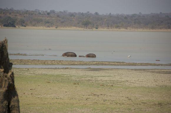 Ook veel jongen bij de nijlpaarden