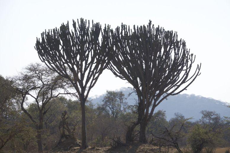 Cactusbomen