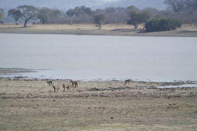 een deel van de lange stoet bavianen die voor ons huisje langs trekt