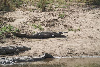 En tegelijkertijd krokodillen rechts van ons
